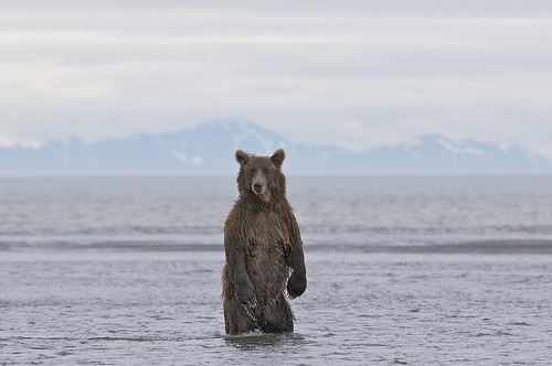 Bears as Art and Social Criticism